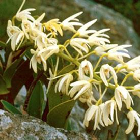 Native Orchids of Pomona